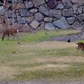 写真: 名古屋城天守閣 お堀の鹿 - 2