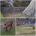 写真: 名古屋城天守閣 お堀の鹿 - 12:桜の下で草を食む2匹の鹿