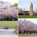 写真: 満開を過ぎ、散り始めた、落合公園の桜(2016年4月8日) - 33