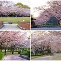 写真: 満開を過ぎ、散り始めた、落合公園の桜(2016年4月8日) - 35