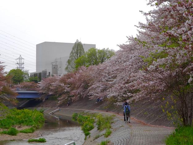 山崎川の桜並木(2016年4月10日) - 39