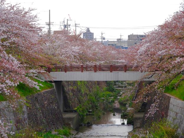 山崎川の桜並木(2016年4月10日) - 72