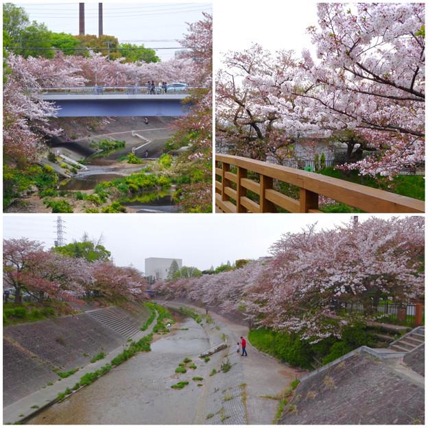 山崎川の桜並木(2016年4月10日) - 79