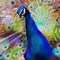 写真: 東山動植物園:艶やかな羽を広げる、オスのインドクジャク - 26(フィルター)