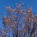写真: 花が咲いていた大山川沿いの木(2018年3月2日) - 2