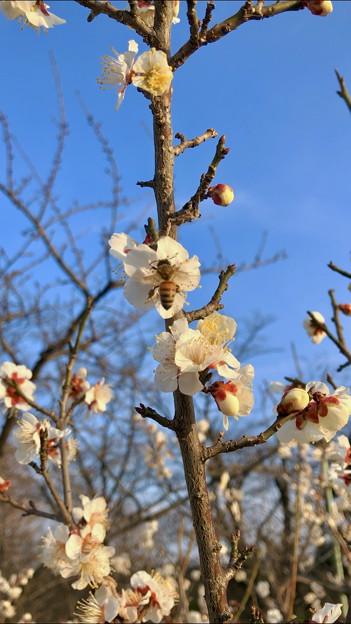 結構咲いていた、落合公園横の生地川沿いの梅(2018年3月4日) - 27:ミツバチも飛来!