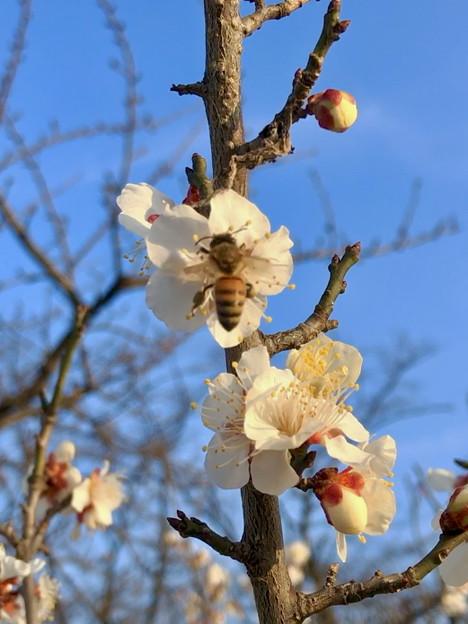 結構咲いていた、落合公園横の生地川沿いの梅(2018年3月4日) - 28:ミツバチも飛来!
