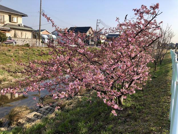 満開だった、八田川沿いの早咲きの桜(オオカンザクラ?、2018年3月13日) - 1