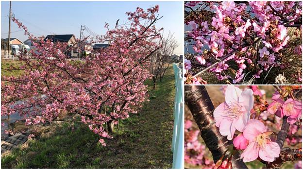 満開だった、八田川沿いの早咲きの桜(オオカンザクラ?、2018年3月13日) - 4