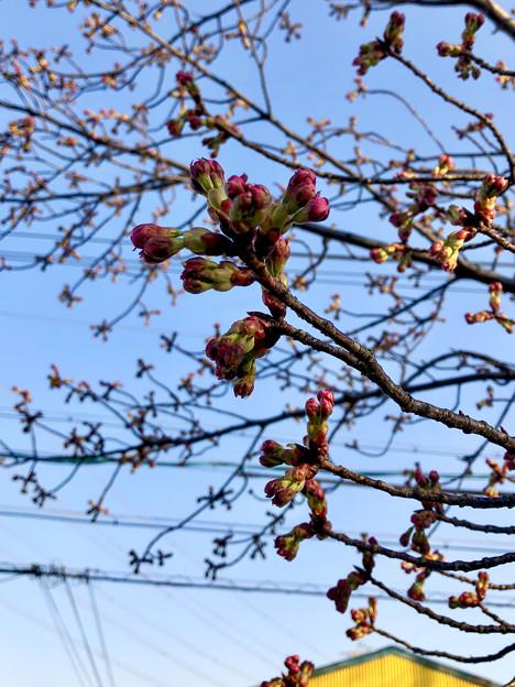 落合公園の桜のツボミ(2018年3月17日)No - 10:極一部の木ではピンク色が見え始めたものも!