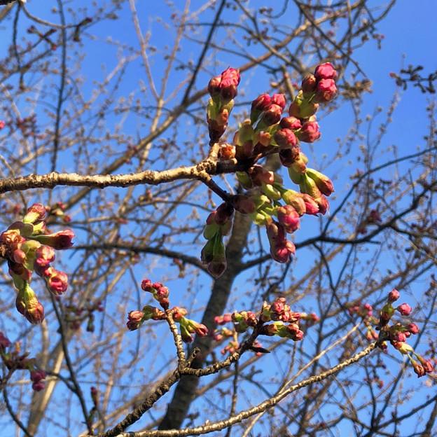 落合公園の桜のツボミ(2018年3月17日)No - 12:極一部の木ではピンク色が見え始めたものも!