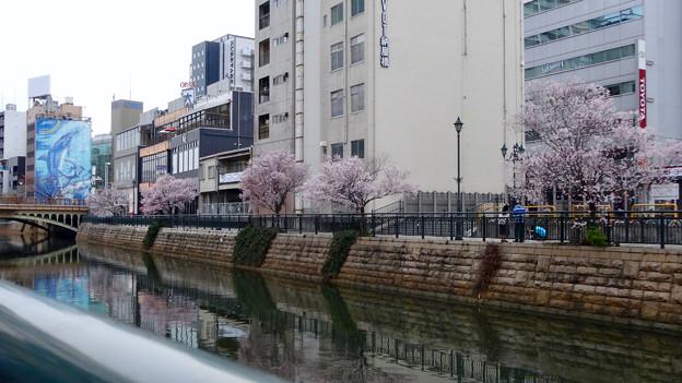 すでに満開&葉桜だった納屋橋近くの堀川沿いの桜(四季桜、2018年3月18日) - 8