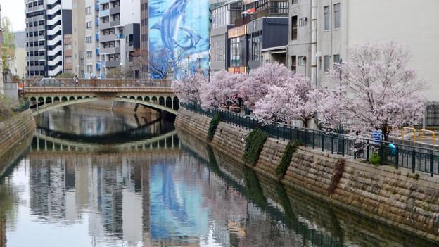 すでに満開&葉桜だった納屋橋近くの堀川沿いの桜(四季桜、2018年3月18日) - 11