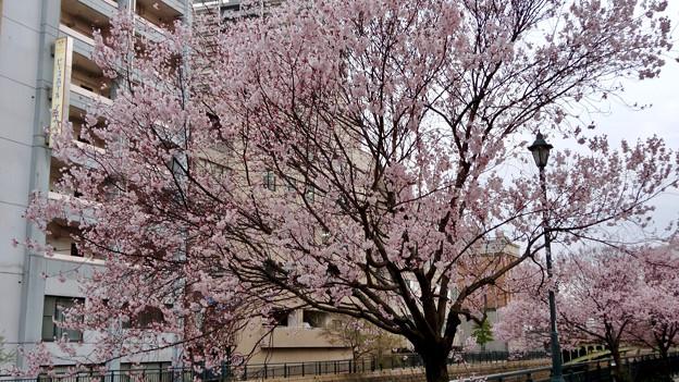 すでに満開&葉桜だった納屋橋近くの堀川沿いの桜(四季桜、2018年3月18日) - 16