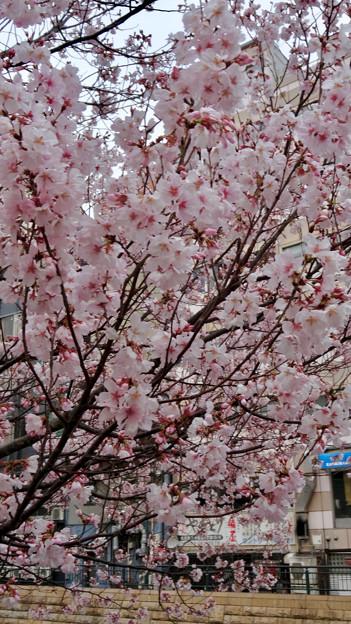 すでに満開&葉桜だった納屋橋近くの堀川沿いの桜(四季桜、2018年3月18日) - 19