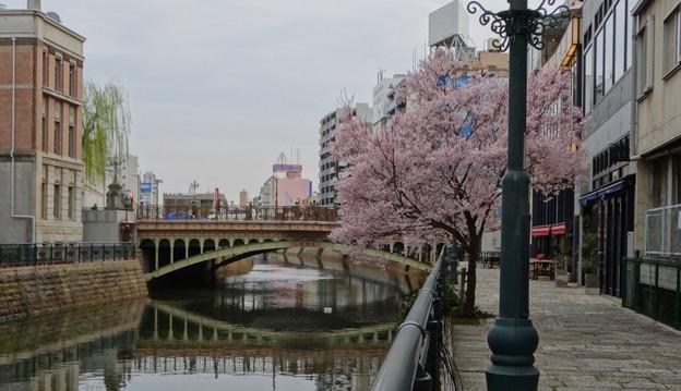 すでに満開&葉桜だった納屋橋近くの堀川沿いの桜(四季桜、2018年3月18日) - 21