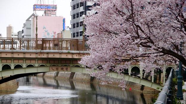 すでに満開&葉桜だった納屋橋近くの堀川沿いの桜(四季桜、2018年3月18日) - 23