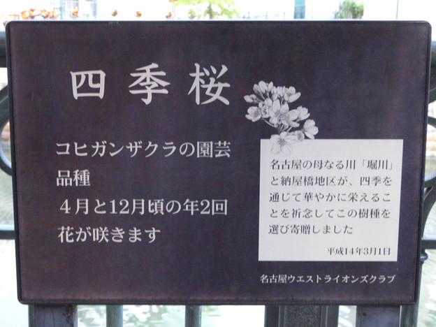 すでに満開&葉桜だった納屋橋近くの堀川沿いの桜(四季桜、2018年3月18日) - 26:桜の解説