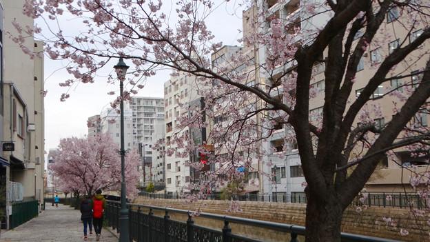 すでに満開&葉桜だった納屋橋近くの堀川沿いの桜(四季桜、2018年3月18日) - 27