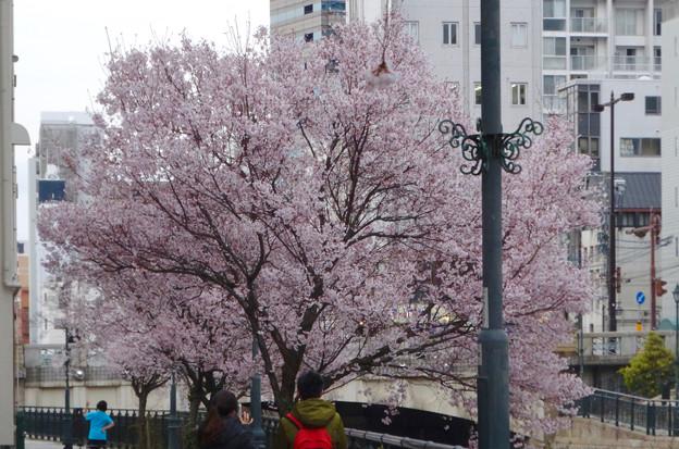 すでに満開&葉桜だった納屋橋近くの堀川沿いの桜(四季桜、2018年3月18日) - 28