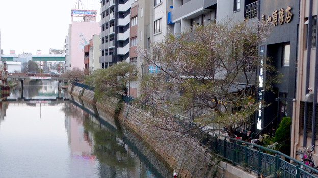 すでに満開&葉桜だった納屋橋近くの堀川沿いの桜(四季桜、2018年3月18日) - 31:すでに葉桜!?