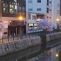 すでに満開&葉桜だった納屋橋近くの堀川沿いの桜(四季桜、2018年3月18日) - 33