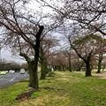 名古屋では開花宣言されたけど、ようやくピンク色が見え始めたくらいだった落合公園のソメイヨシノ(2018年3月20日) - 1