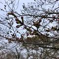 名古屋では開花宣言されたけど、ようやくピンク色が見え始めたくらいだった落合公園のソメイヨシノ(2018年3月20日) - 3