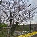 ようやくツボミが色づき始めた中央道桃花台バス停付近の桜(2018年3月21日) - 1