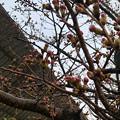 ようやくツボミが色づき始めた中央道桃花台バス停付近の桜(2018年3月21日) - 4