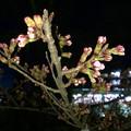 だいぶ膨らみ始めた落合公園の桜のツボミ(2018年3月22日) - 2