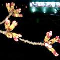 だいぶ膨らみ始めた落合公園の桜のツボミ(2018年3月22日) - 4