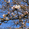 今年も咲き始めた落合公園の桜(ソメイヨシノ、2018年3月23日) - 2