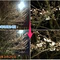 写真: 1日で結構開花が進んだ中央道沿いの桜(2018年3月25日) - 8