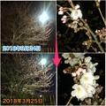 写真: 1日で結構開花が進んだ中央道沿いの桜(2018年3月25日) - 9