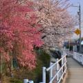 写真: 満開だった天満天神社の桜 - 3