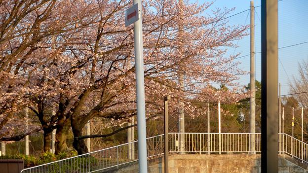4月にオープン予定の「テラスポ鶴舞(鶴舞公園スポーツコミュニティセンター)」 - 9:施設沿いの桜