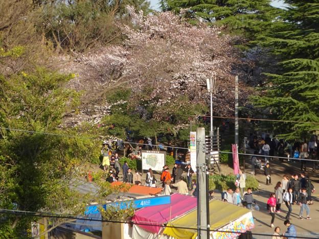 たくさんの人で賑わってた、桜咲く鶴舞公園(2018年3月24日) - 2