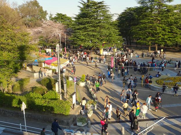 たくさんの人で賑わってた、桜咲く鶴舞公園(2018年3月24日) - 3