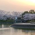 満開だった夕暮れ時の落合公園の桜(2018年3月29日) - 6