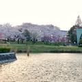 満開だった夕暮れ時の落合公園の桜(2018年3月29日) - 21