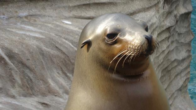 餌をねだるカリフォルニアアシカ - 4:もらえずちょっと悲しげな顔
