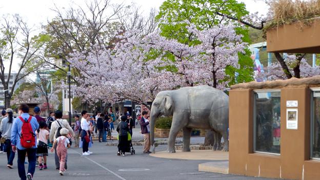 東山動植物園の桜(2018年4月1日)No - 27:ゾージアム横の桜
