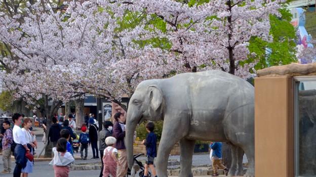 東山動植物園の桜(2018年4月1日)No - 28:ゾージアム横の桜