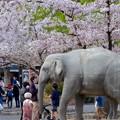 Photos: 東山動植物園の桜(2018年4月1日)No - 28:ゾージアム横の桜