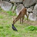 元気そうだった名古屋城のお堀の鹿 - 3