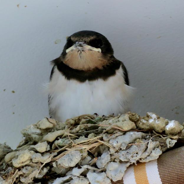 体も大きくなり、羽毛もだいぶ生え揃ってきたコンビニのツバメの子 - 3