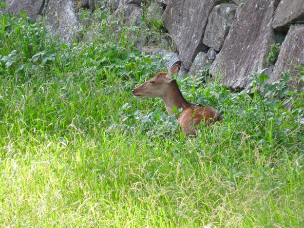 名古屋城:日陰で休んでいたお堀の鹿 - 2