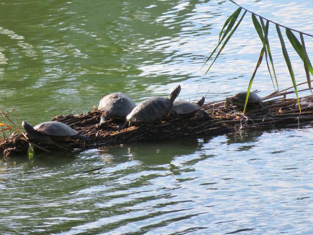 落合公園:溜まっていた葦の上(?)で日向ぼっこしてた亀 - 3