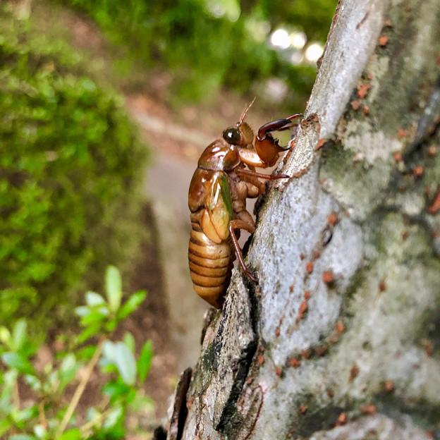 今夏(2018年)初めて出会った脱皮前のセミの幼虫 - 6
